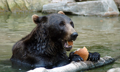 A bear having a snack