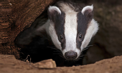 A badger inside his burrow