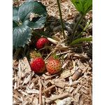 Erdbeeren - Gärtnern in Zeiten des Klimawandels